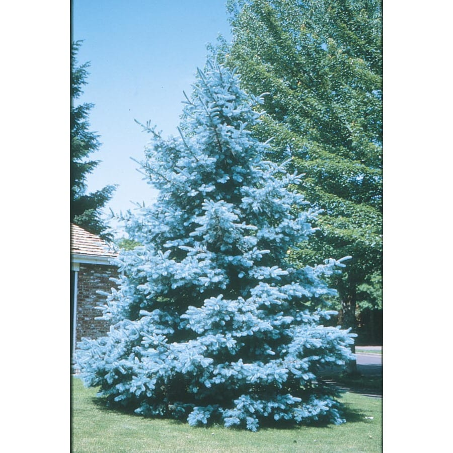 Track Lighting At Lowes Shop 10.25-Gallon Bacheri Blue Spruce Feature Tree ...