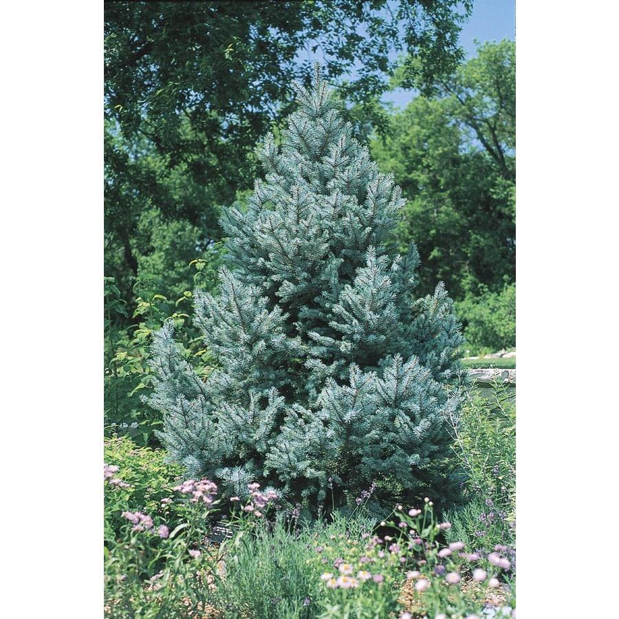 8.75-Gallon Fat Albert Spruce Feature Tree (L4805)
