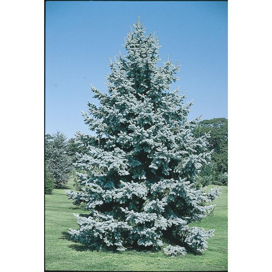 8.75-Gallon Colorado Blue Spruce Feature Tree (L3937)