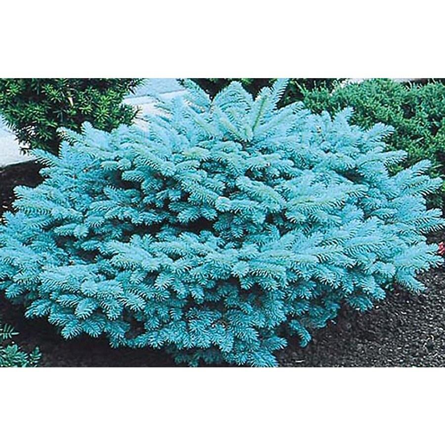 8.75-Gallon Blue Globosa Spruce (L4100)