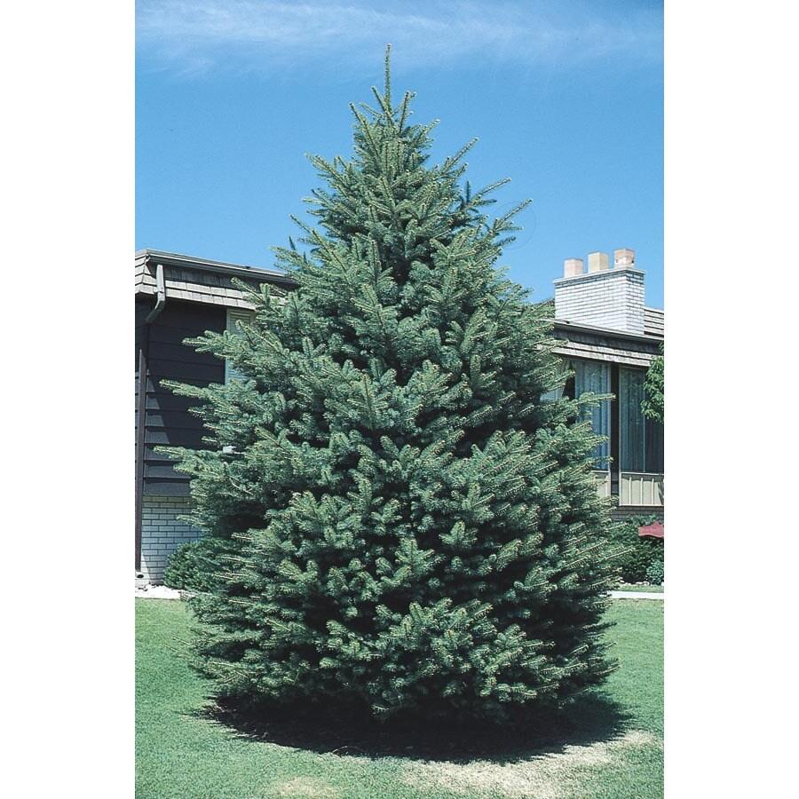 3.25-Gallon Black Hills Spruce Feature Tree (L4531)