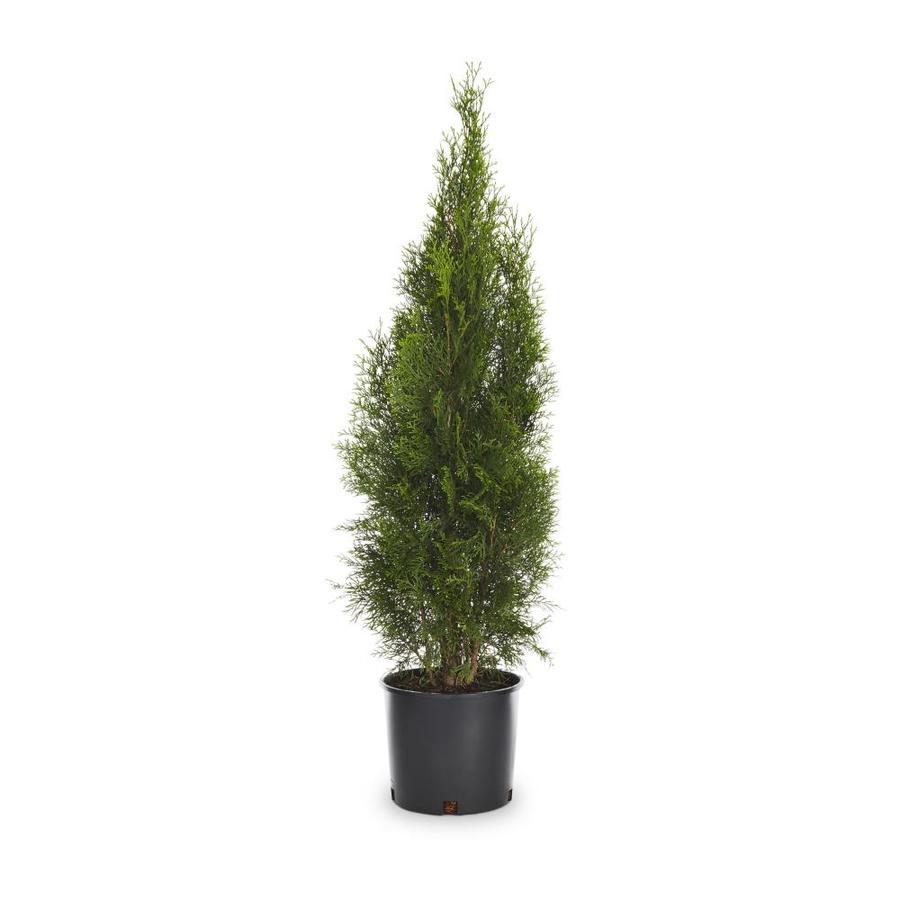 2.25-Gallon Austrian Black Pine Feature Tree (L3618)