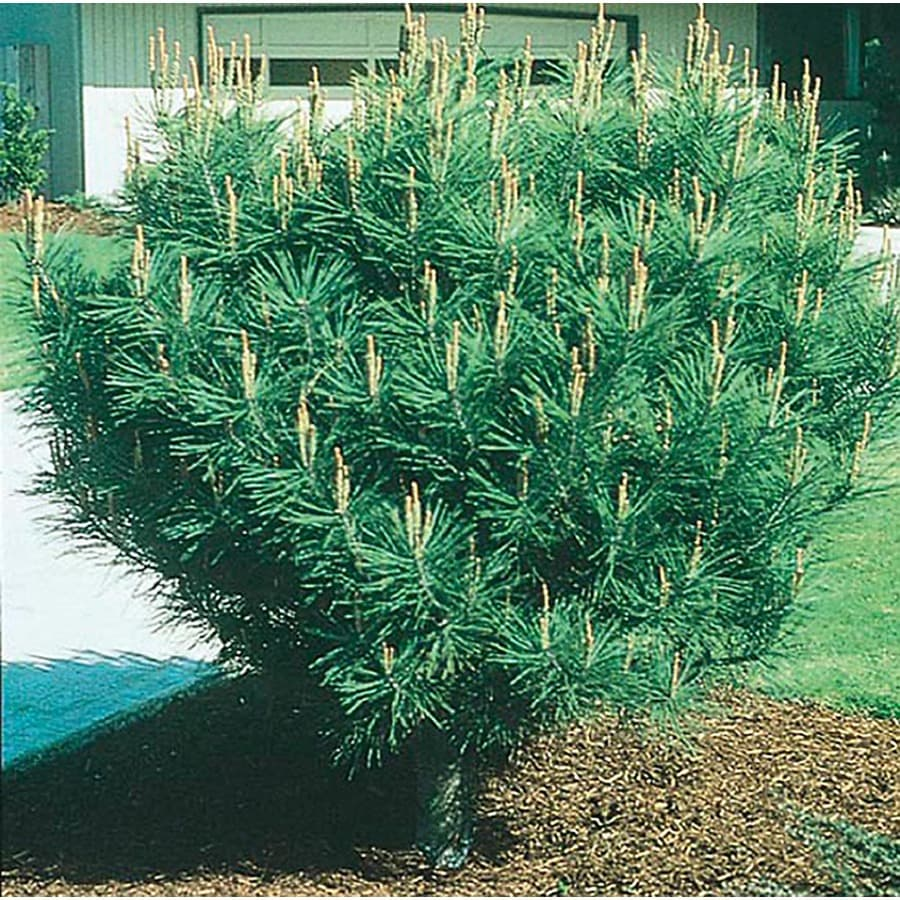 8.75-Gallon Tanyosho Pine Feature Tree (L4808)