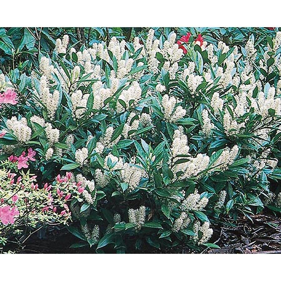 1.5-Gallon White Otto Luyken Cherry Laurel Foundation/Hedge Shrub (L14686)