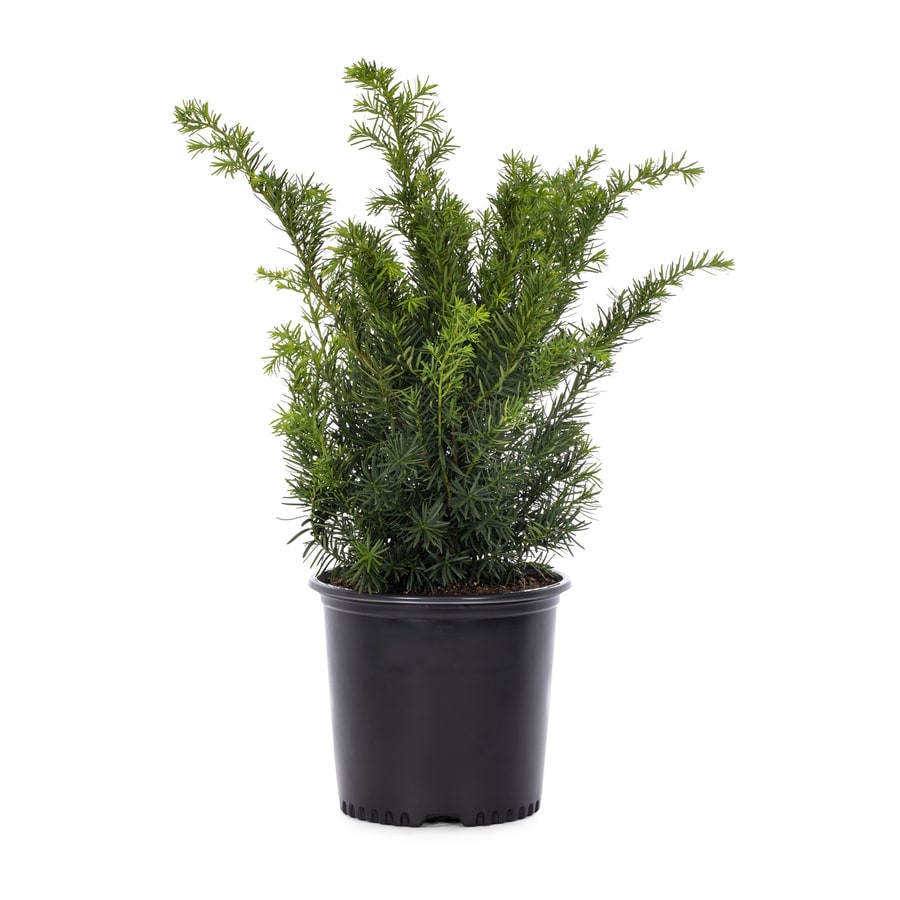2.25-Gallon Upright Yew Foundation/Hedge Shrub (L4609)