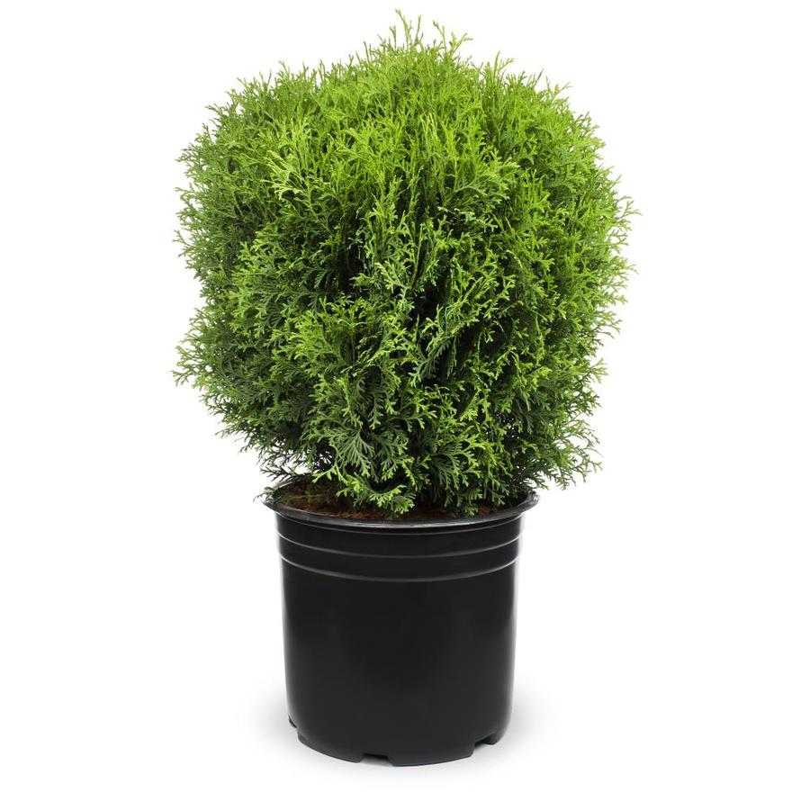 3.25-Gallon Globe Arborvitae Feature Shrub (L4610)