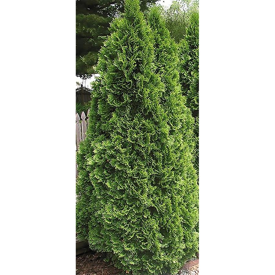 3.25-Quart Emerald Green Arborvitae Screening Shrub (L5480)