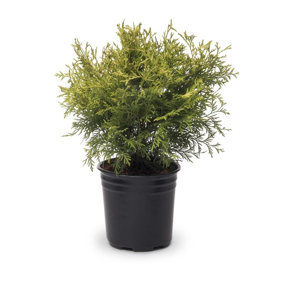 2.5-Quart Golden Globe Arborvitae Accent Shrub (L3952)