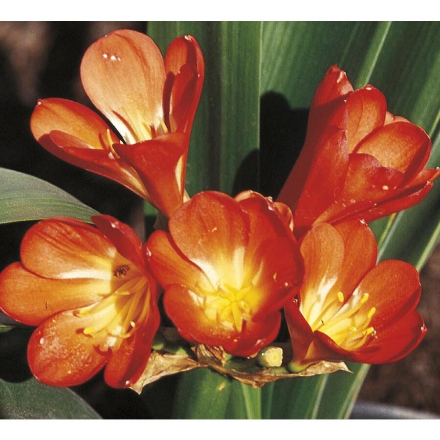 2.5-Quart Orange Kaffir Lily (LW01888)