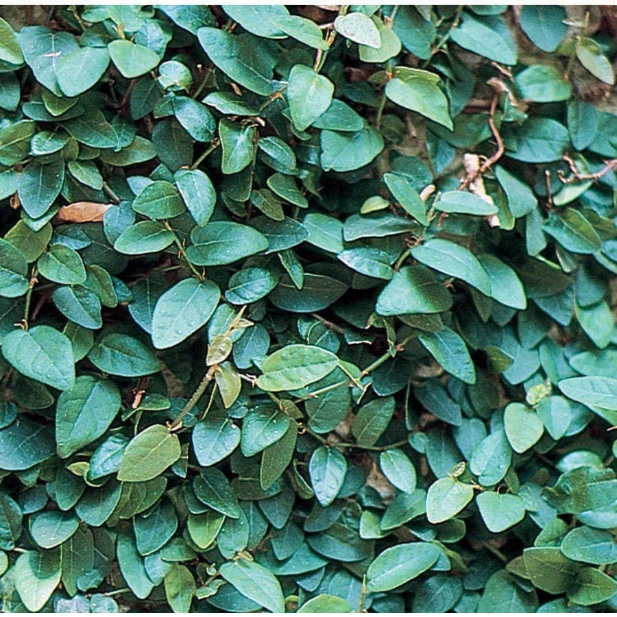 3.25-Gallon Creeping Fig (L10844)