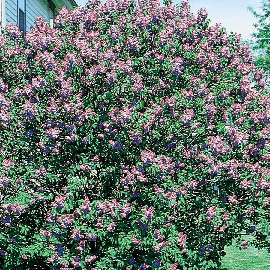2.5-Quart Purple Old Fashioned Purple Lilac Flowering Shrub (L7783)