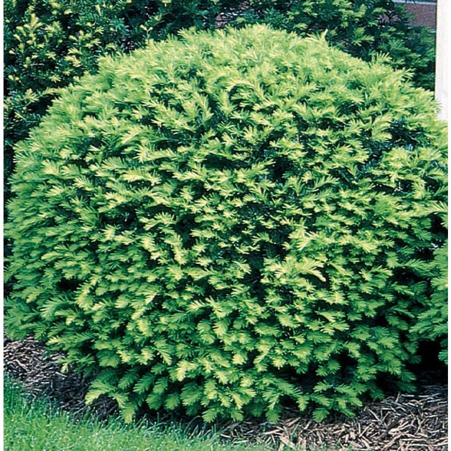 3.25-Gallon Brown's Yew Foundation/Hedge Shrub (L7332)