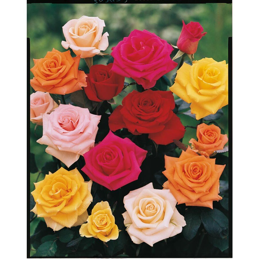 3.25-Gallon Bud and Bloom Rose (L10150)