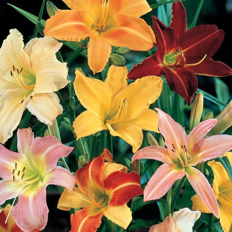 2.5-Quart Container Daylily (L5786)