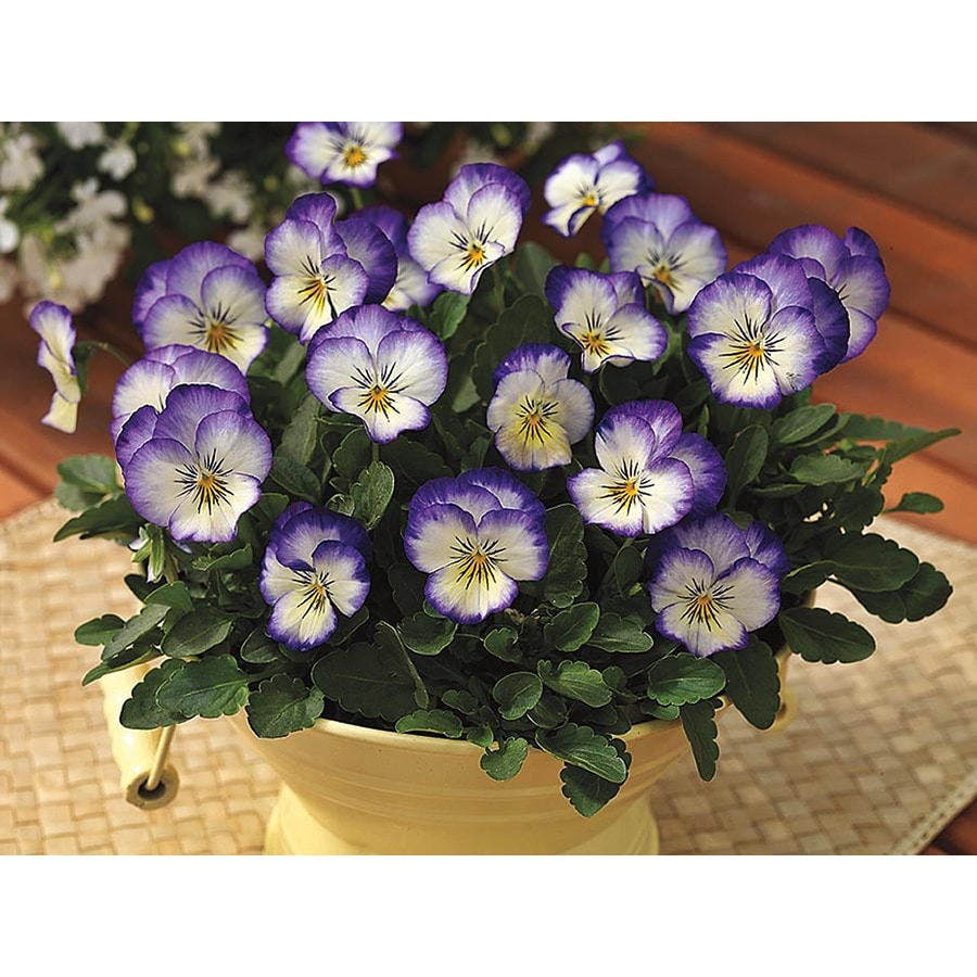 Ferry-Morse Rippling Waters Pansy (Lsp0160)