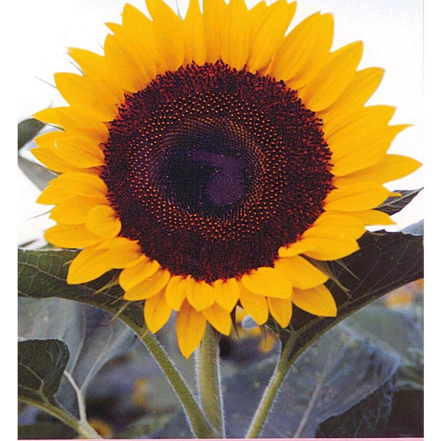Ferry-Morse Jade Sunflower (Lsp0238)