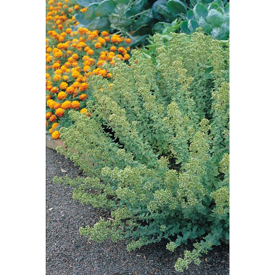 Ferry-Morse Greek Oregano (LW04225)