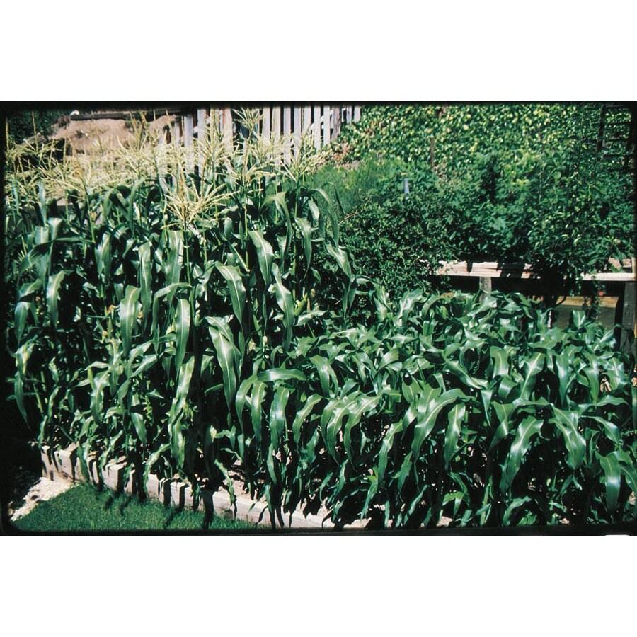 Ferry-Morse Sweet Symphony Sweet Corn Plant (LSP0076)