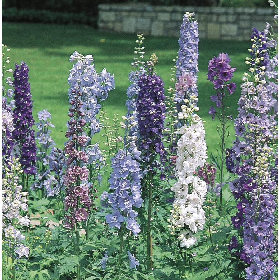 Ferry-Morse Magic Fountain Mix Delphinium (L8135)