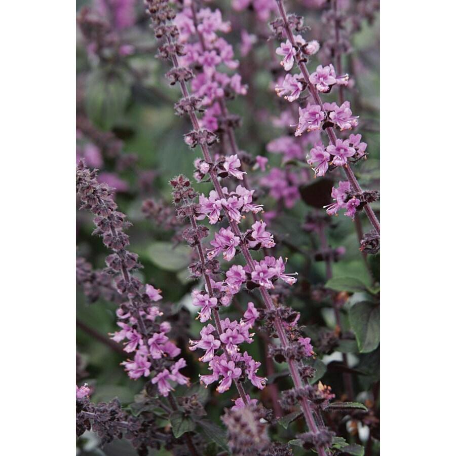 Ferry-Morse Purple Basil (LSP0013)