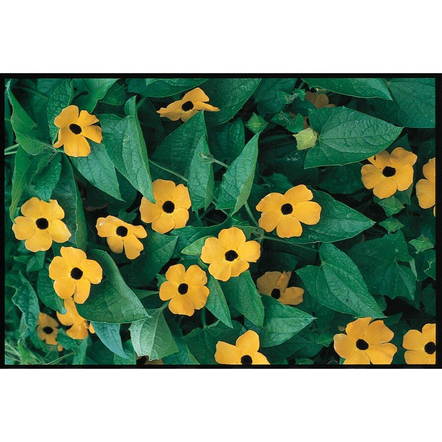 3.25-Gallon Thunbergia (L2514)