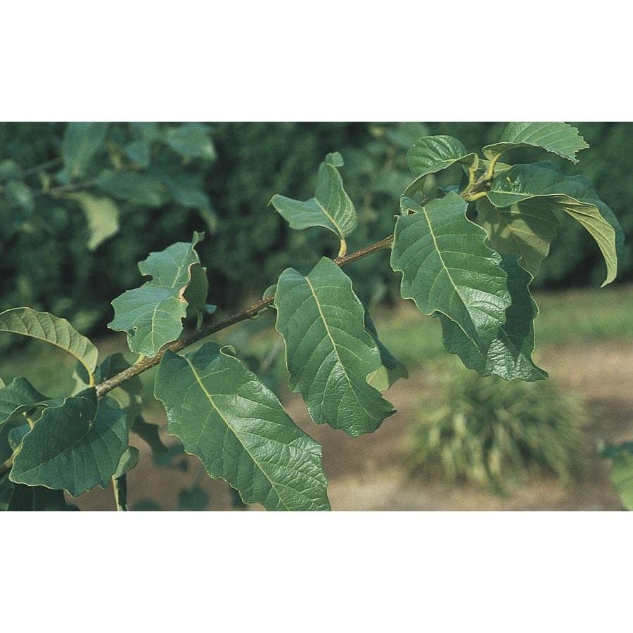 3.74-Gallon Monterey Oak Shade Tree (L11189)
