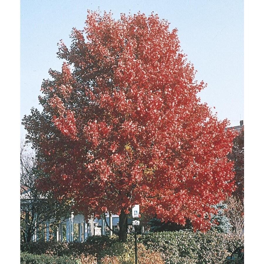 3.74-Gallon October Glory Maple Shade Tree (L3171)