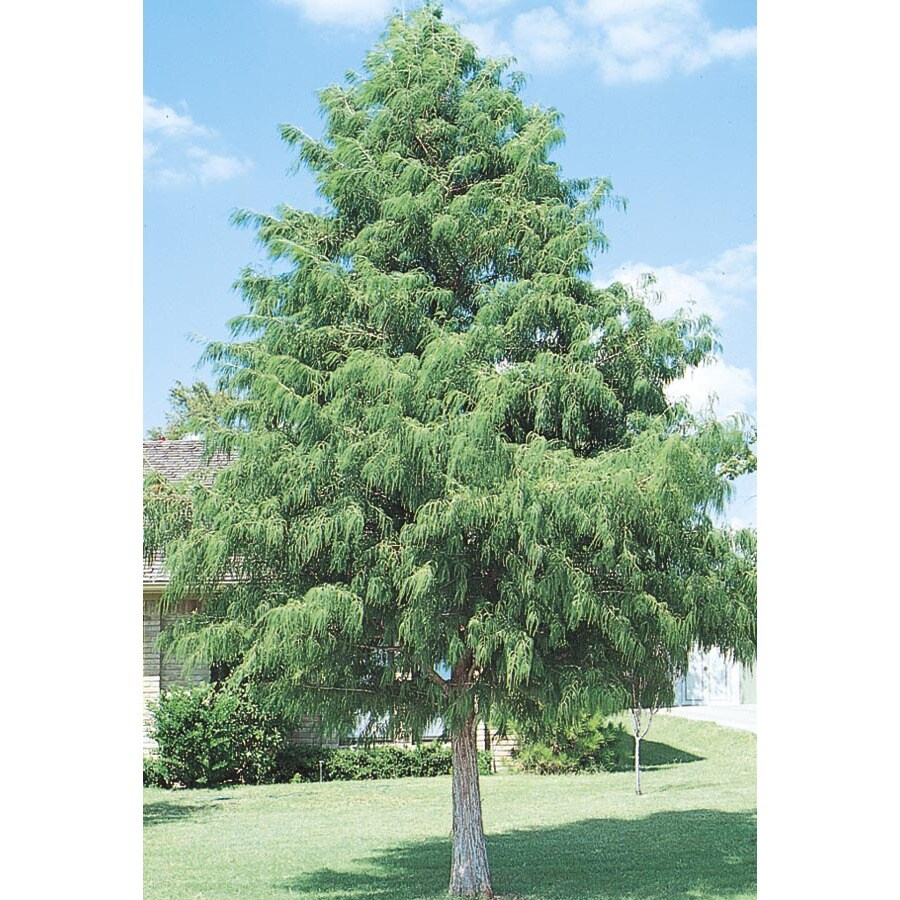 92.99-Gallon Bald Cypress Shade Tree (L3245)