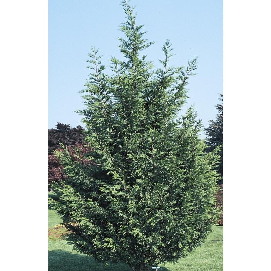 13.35-Gallon Leyland Cypress Screening Tree (L3153)