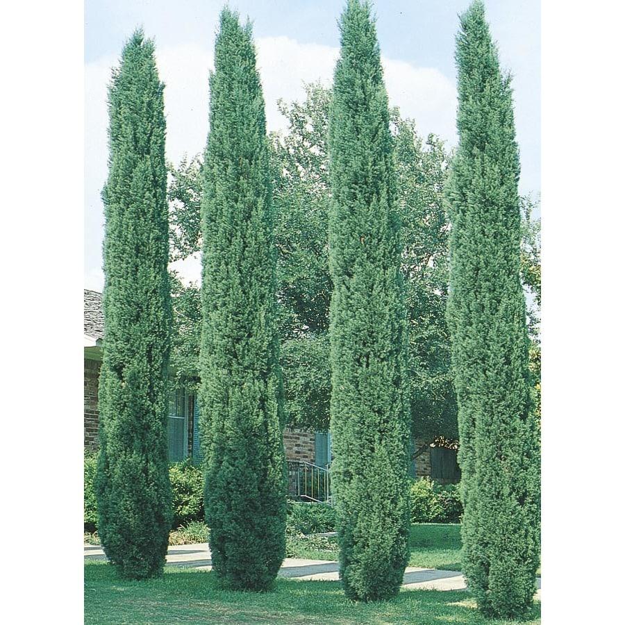 Shop 6 09 Gallon Italian Cypress Feature Tree L3291 At