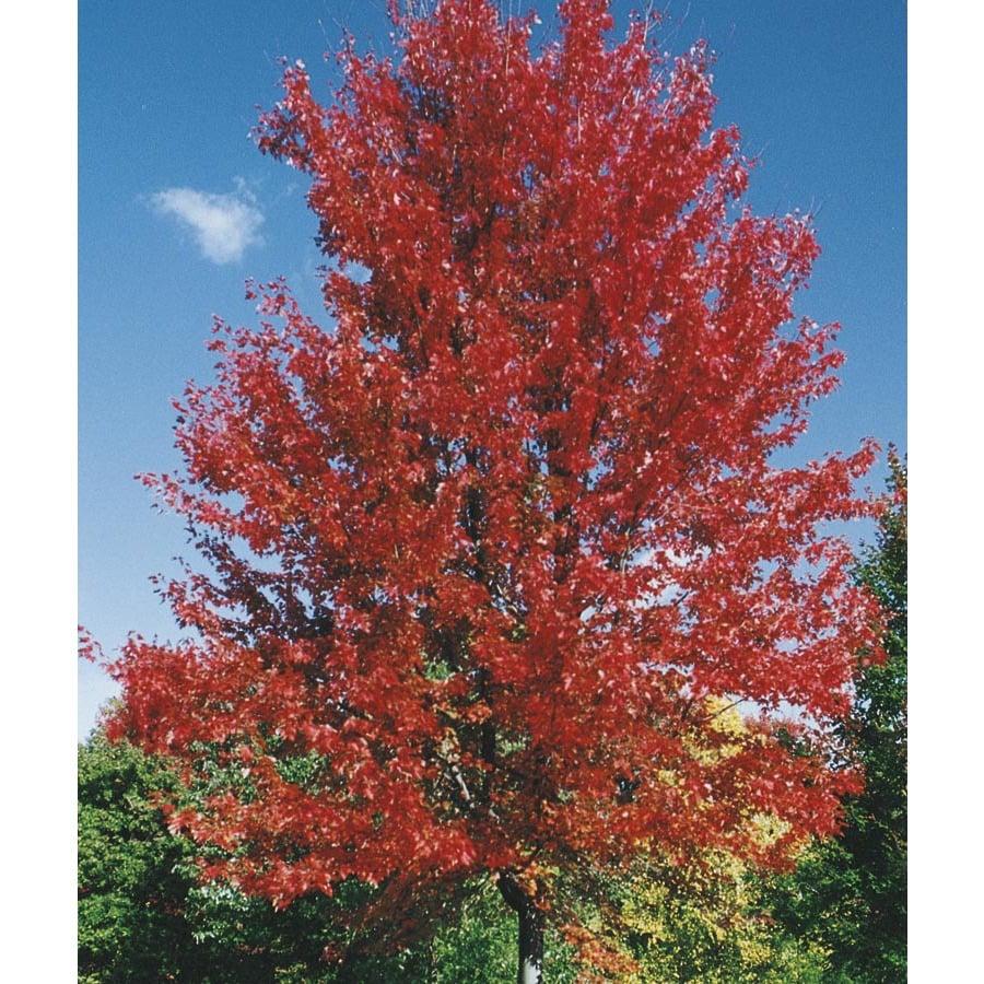 9.64-Gallon Autumn Blaze Maple Shade Tree (L1123)