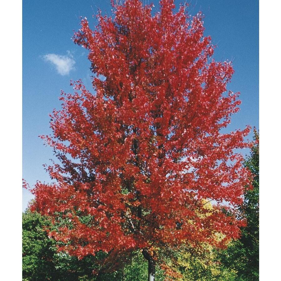 19.59-Gallon Autumn Blaze Maple Shade Tree (L1123)