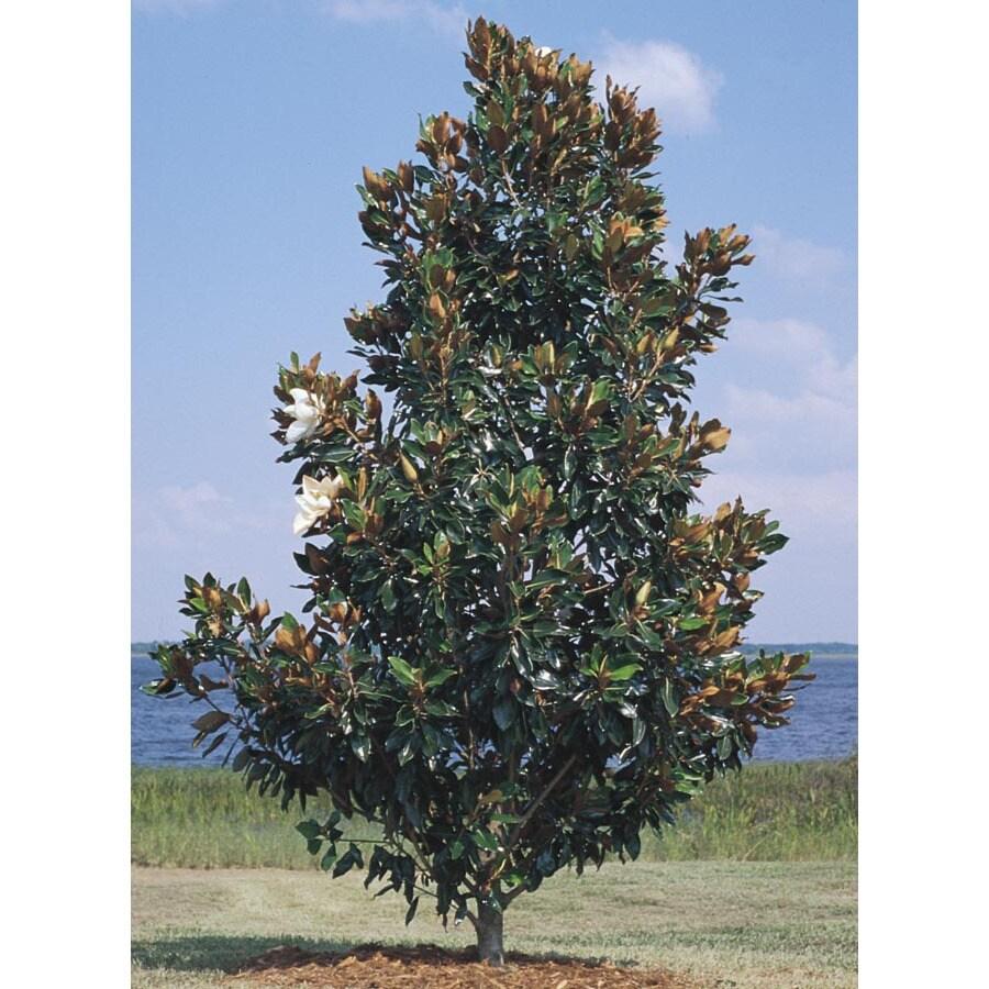 3.74-Gallon Little Gem Magnolia Flowering Tree (L1157)