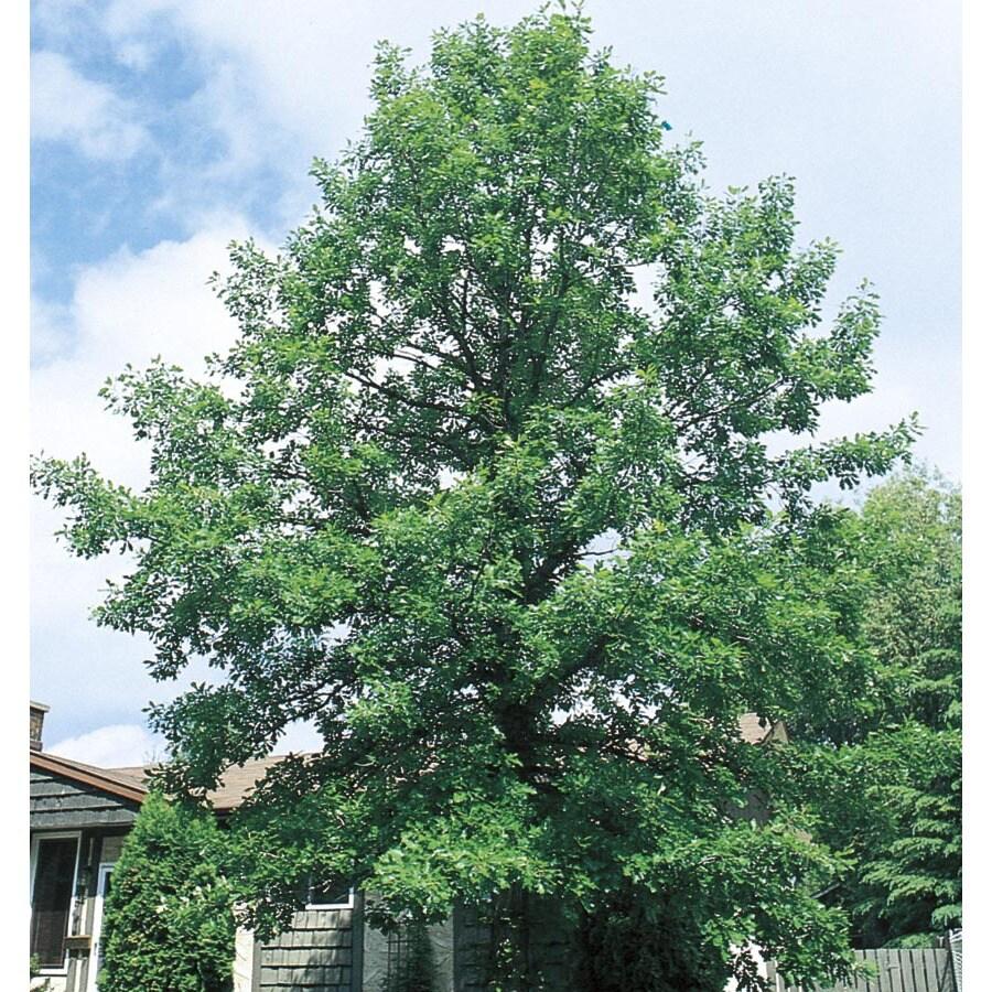 9.64-Gallon Bur Oak Shade Tree (L1102)