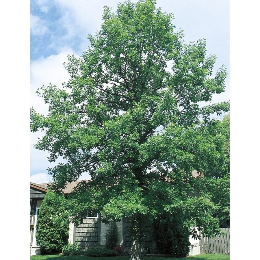 27.17-Gallon Bur Oak Shade Tree (L1102)