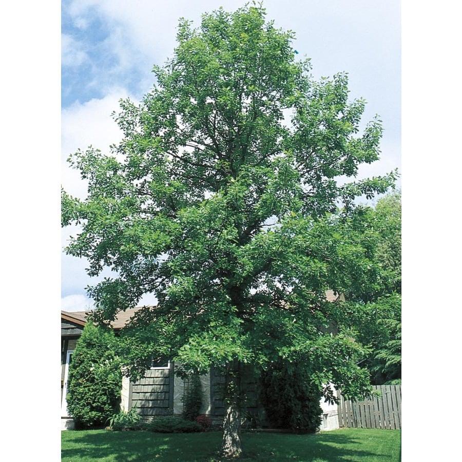 92.99-Gallon Bur Oak Shade Tree (L1102)