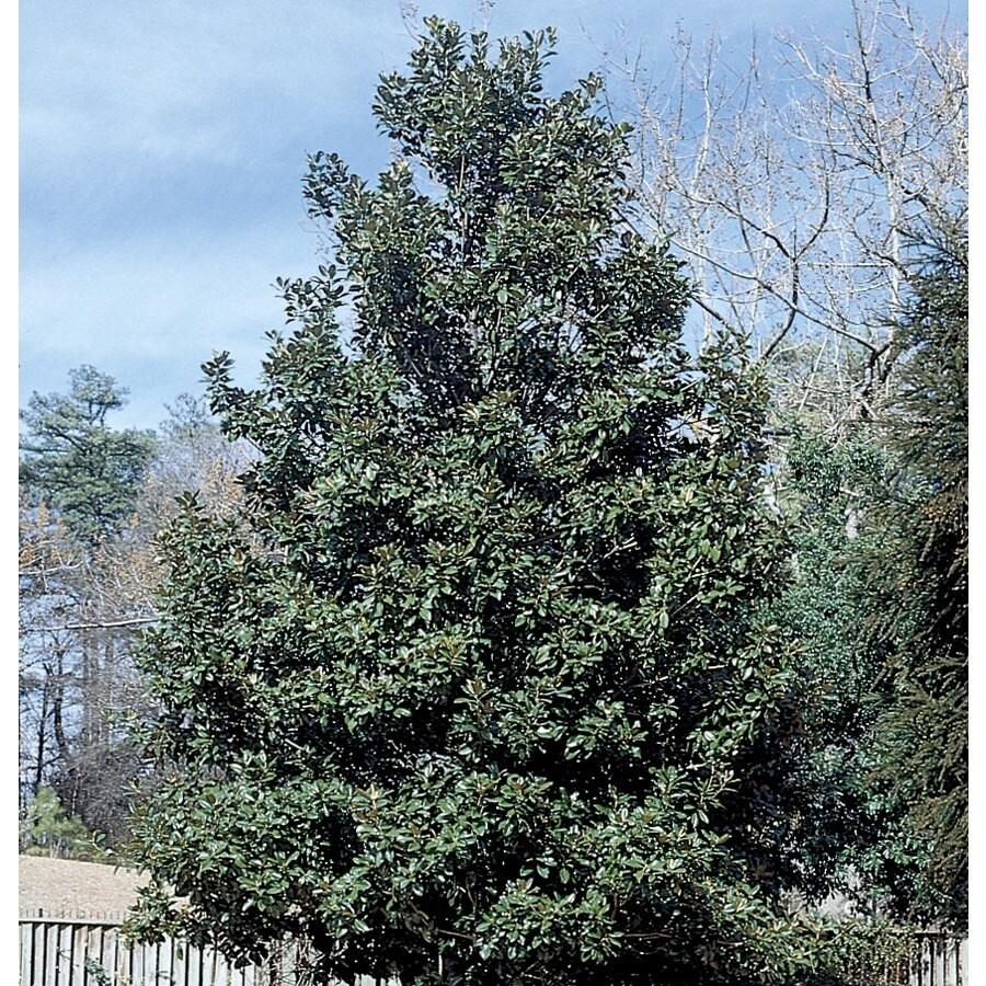 9.64-Gallon Claudia Wannamaker Magnolia Shade Tree (L25700)