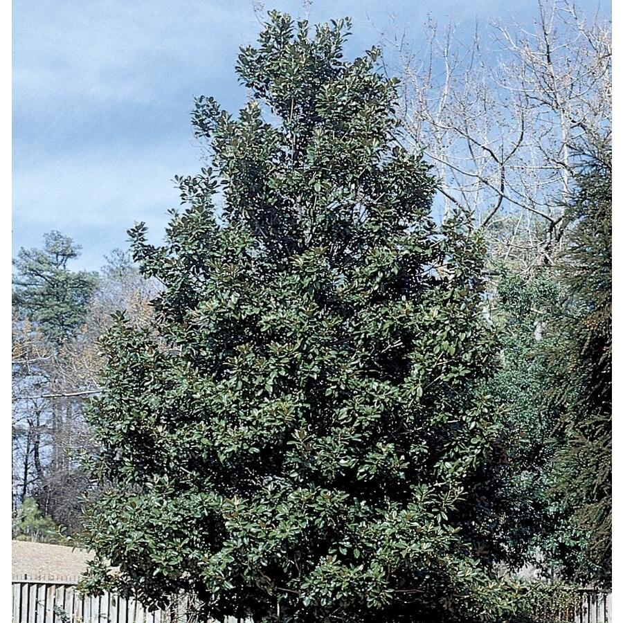 13.35-Gallon Claudia Wannamaker Magnolia Shade Tree (L25700)