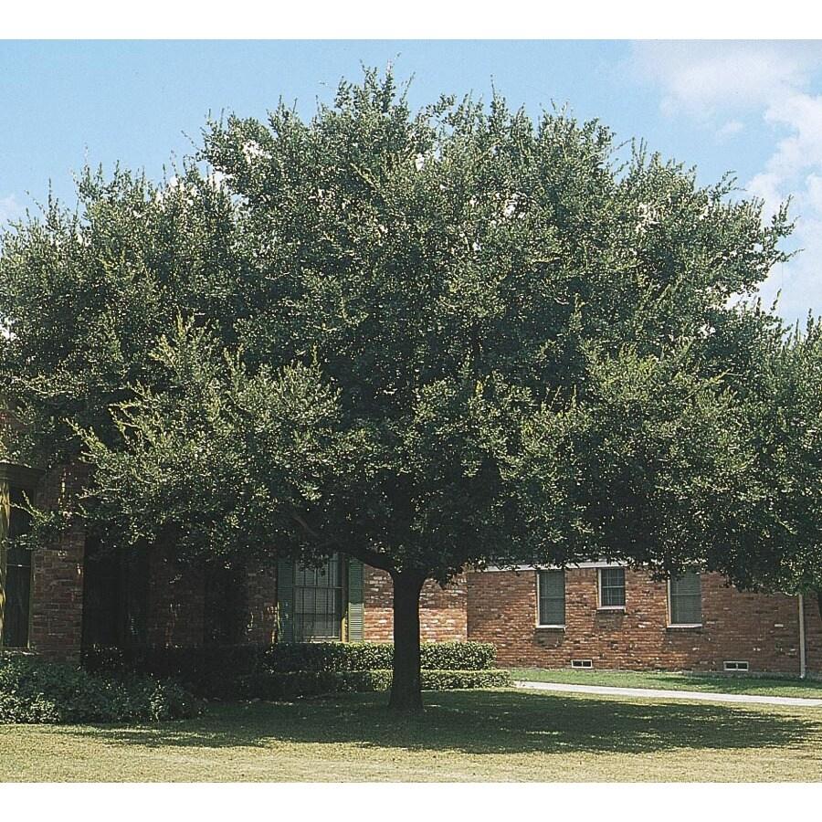 13.35-Gallon Live Oak Shade Tree (L3670)