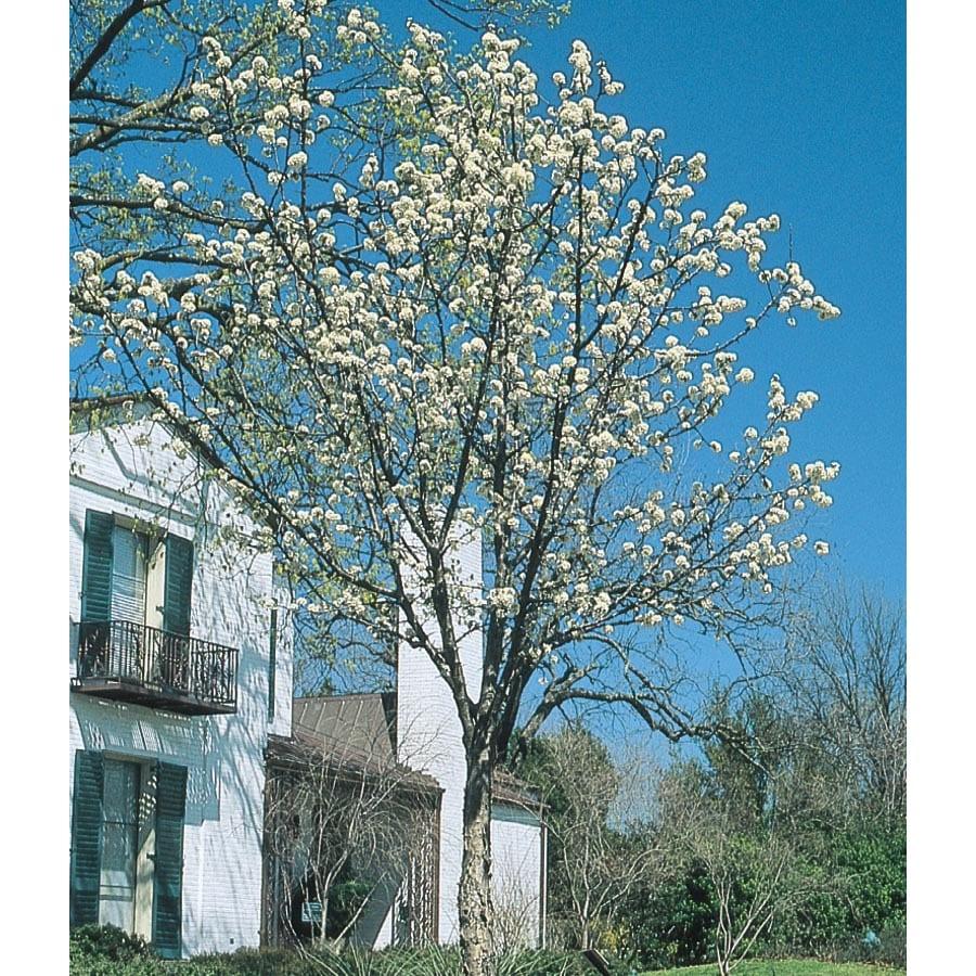 9.64-Gallon Mexican Plum Flowering Tree (L25703)