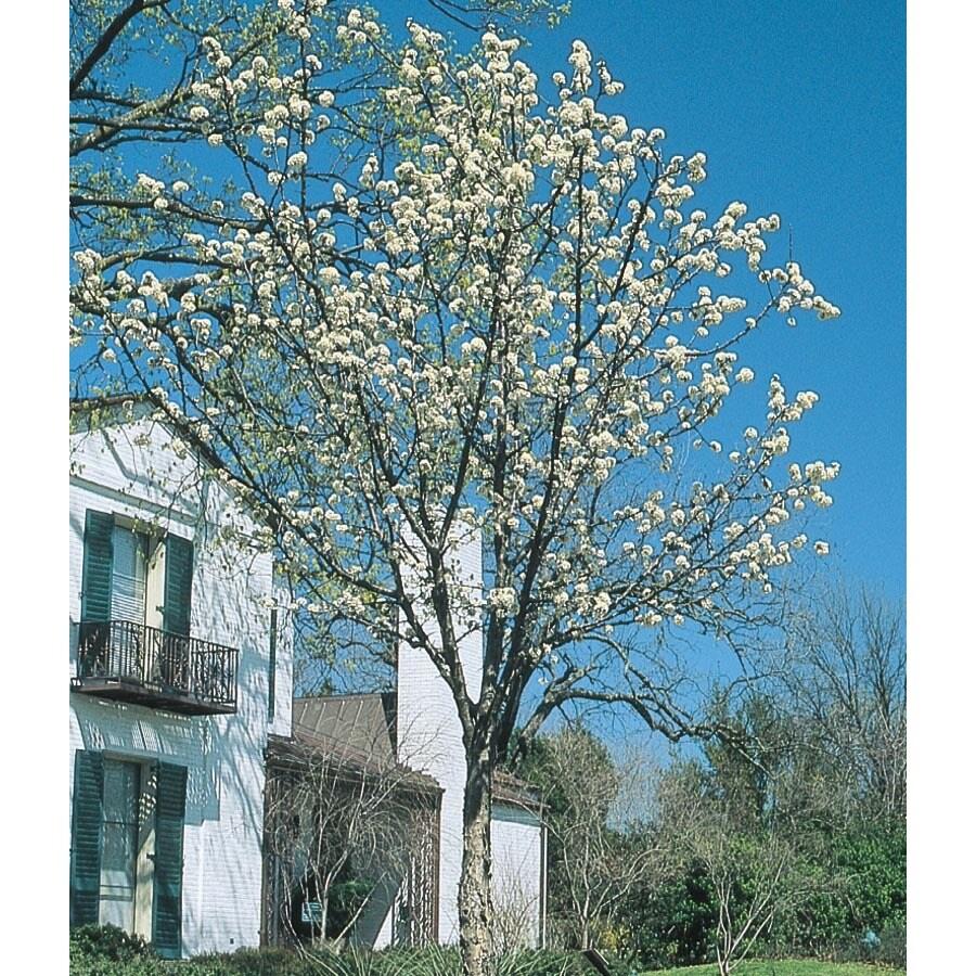 13.35-Gallon Mexican Plum Flowering Tree (L25703)