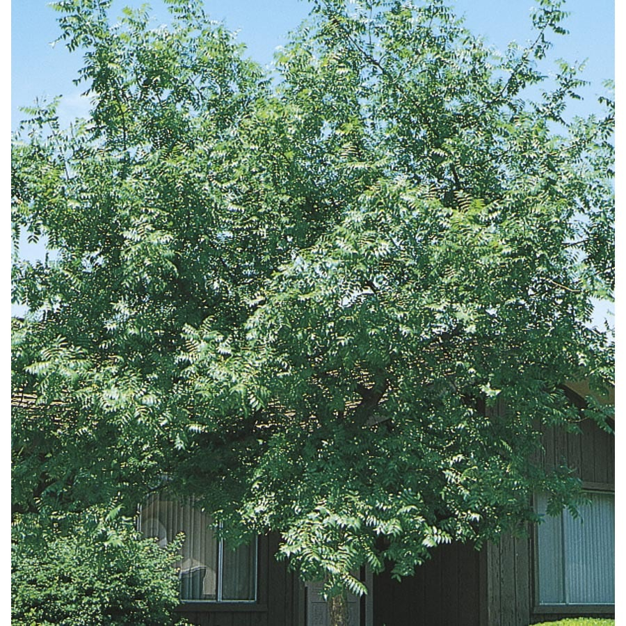 19.59-Gallon Chinese Pistache Shade Tree (L1089)