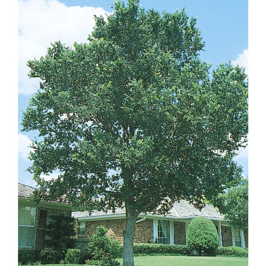 3.74-Gallon Cedar Elm Shade Tree (L1416)