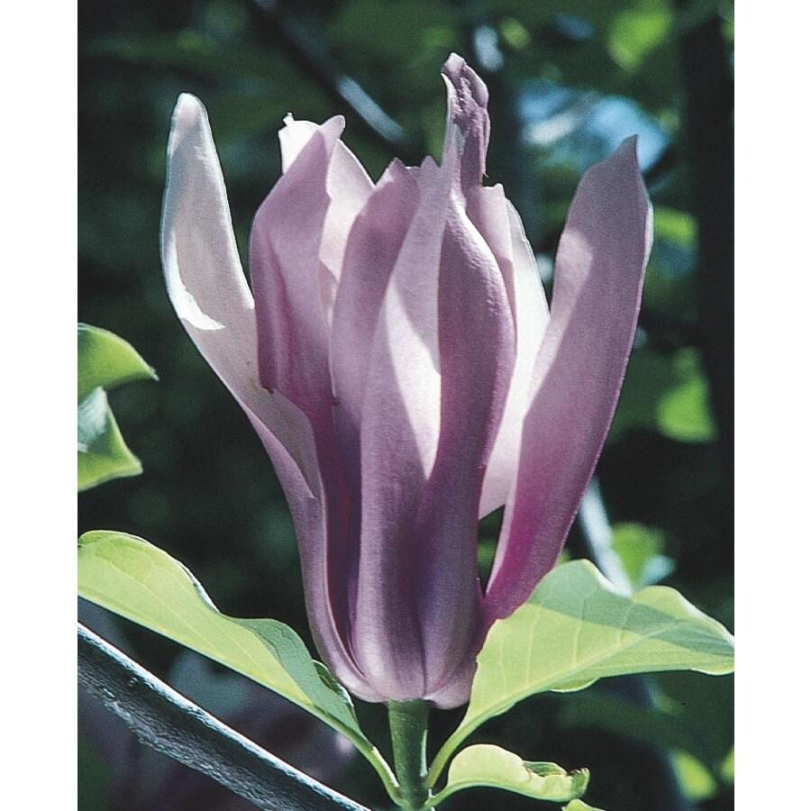 3.74-Gallon Ann Magnolia Flowering Tree (L4757)