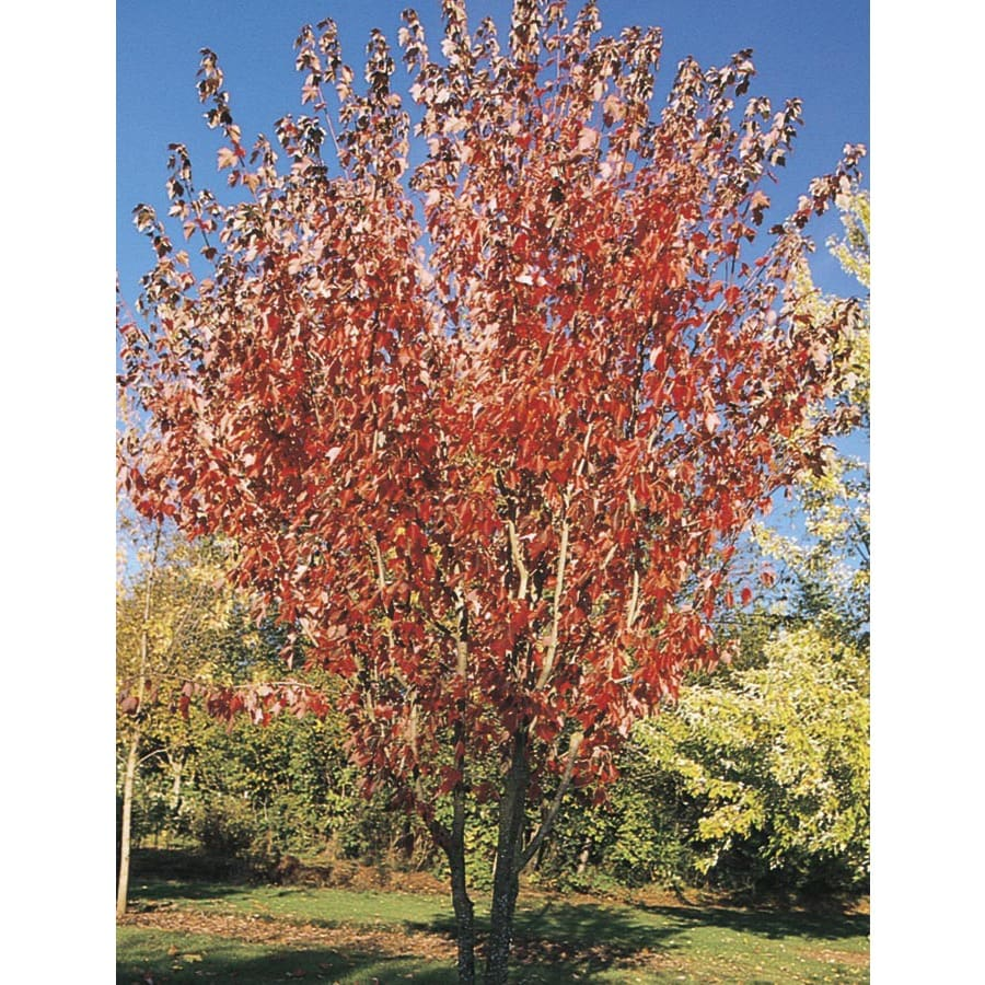 19.59-Gallon Summer Red Maple Shade Tree (L24199)