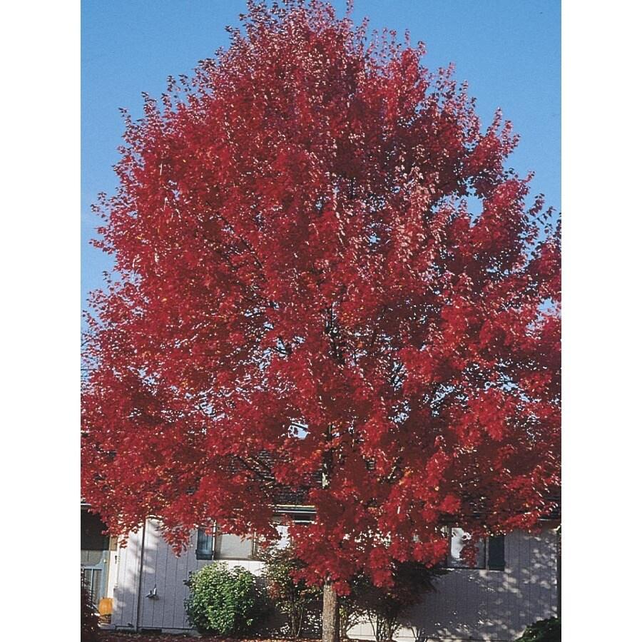 27.17-Gallon Sun Valley Red Maple Shade Tree (L2080)