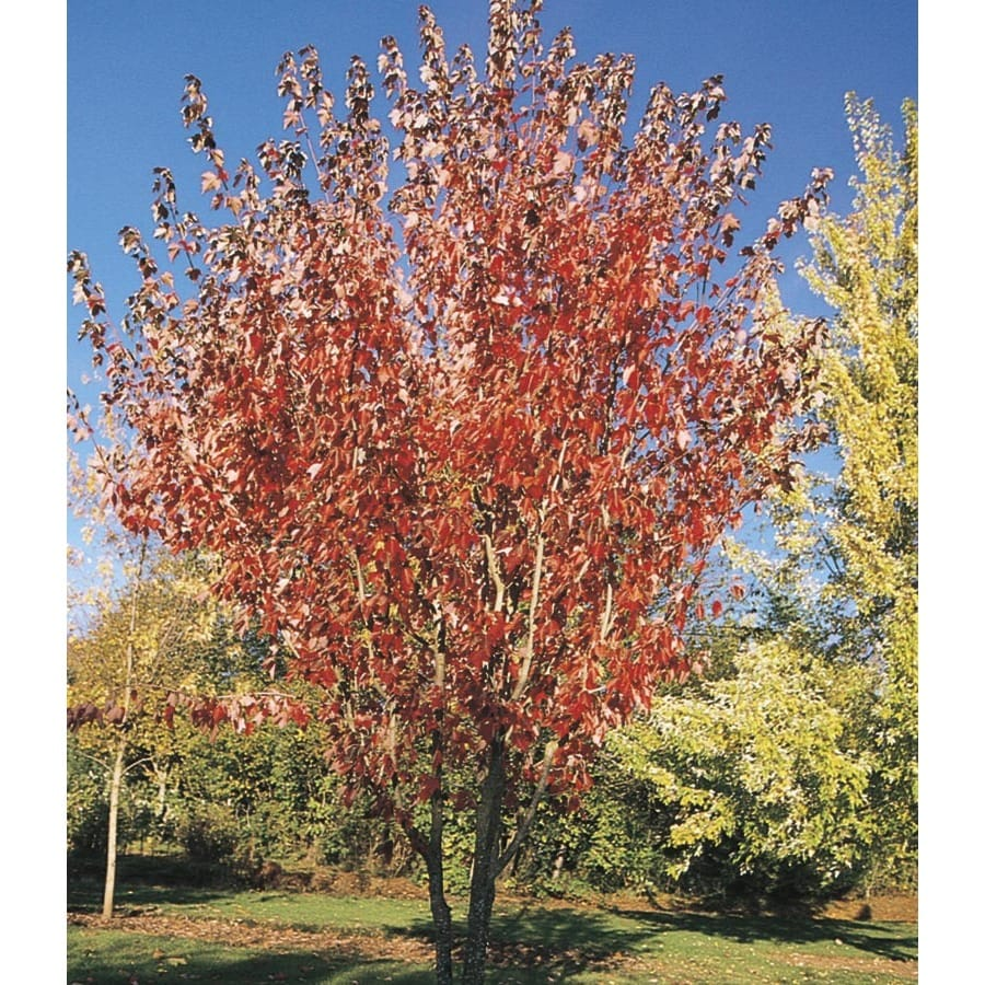 27.17-Gallon Summer Red Maple Shade Tree (L24199)