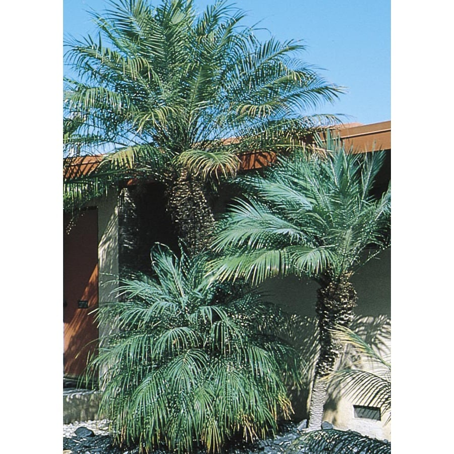 13.35-Gallon Pygmy Date Palm (L7542)