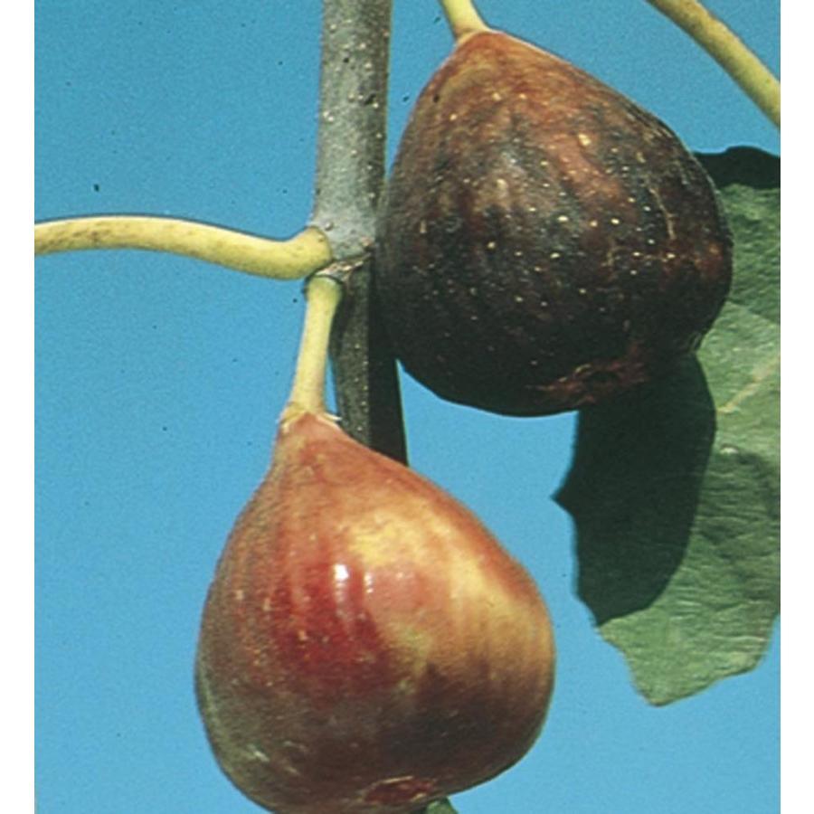 3.74-Gallon Fig Small Fruit (L5982)