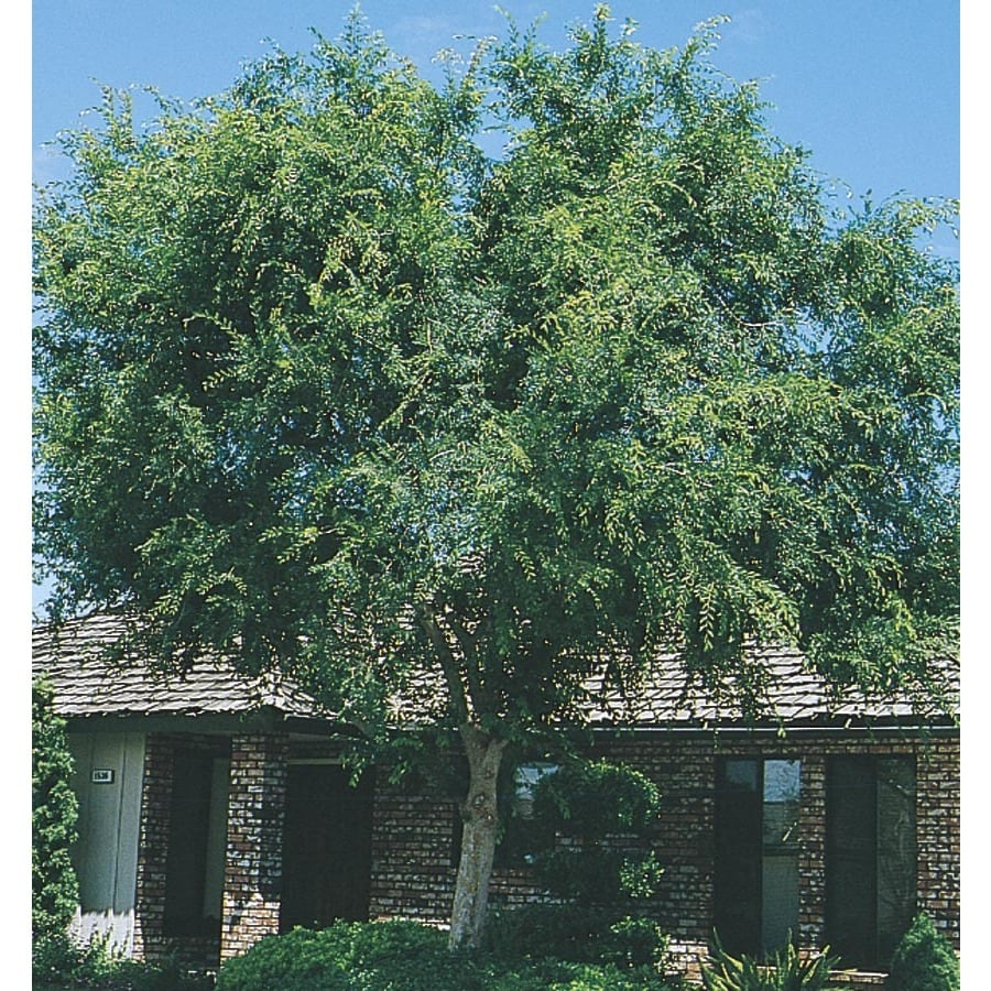 45.28-Gallon Lace Bark/Chinese Elm Shade Tree (L4376)